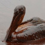 Oiled_Pelicans-2-604x270